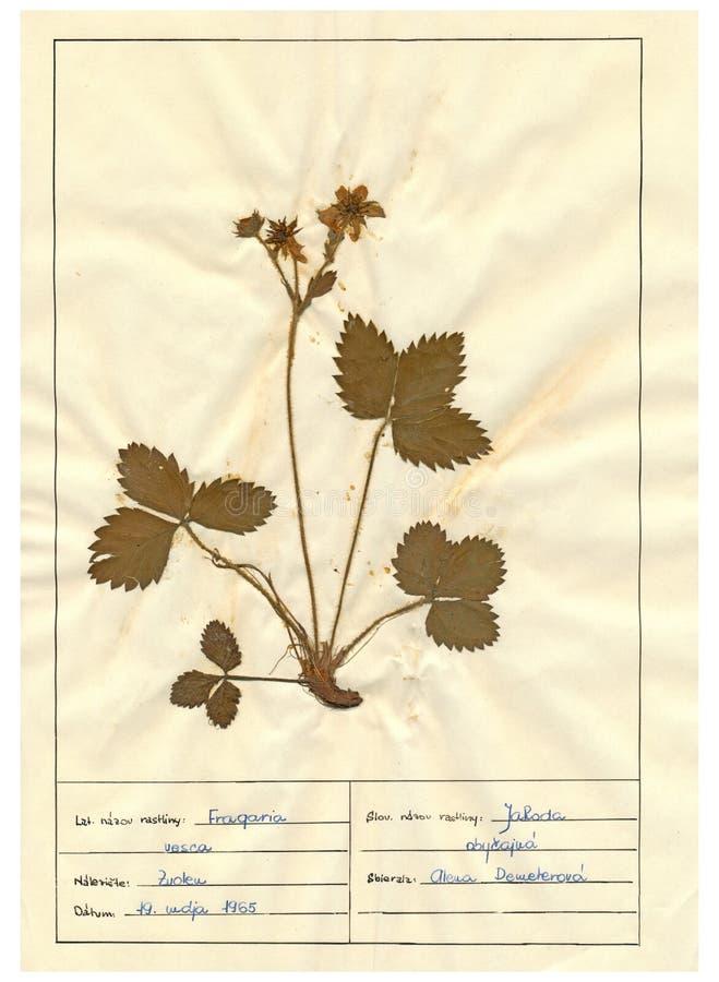 Herbariumblatt - 6/30 lizenzfreie stockbilder