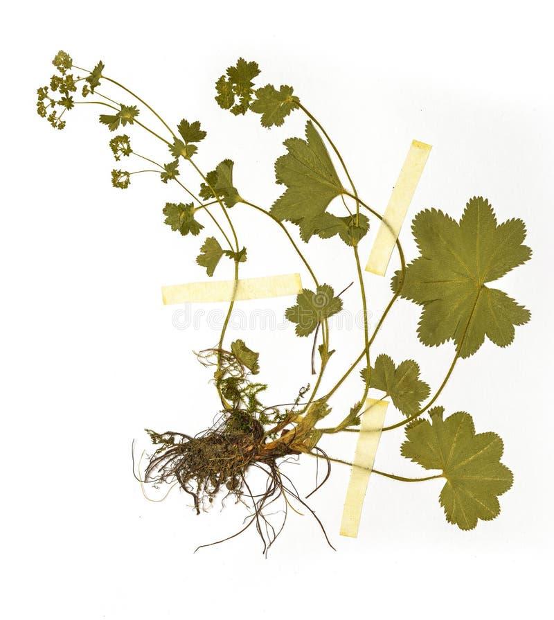 Herbariumblatt stockfoto