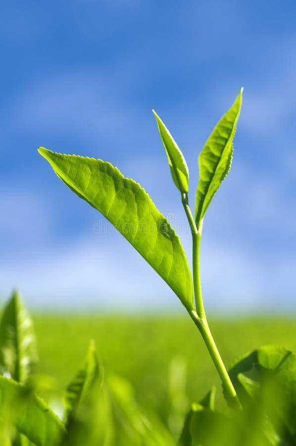 Download Herbata liść zdjęcie stock. Obraz złożonej z błękitny - 13329244