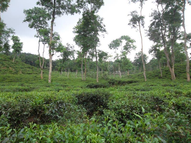 herbata ogrodowa obraz royalty free