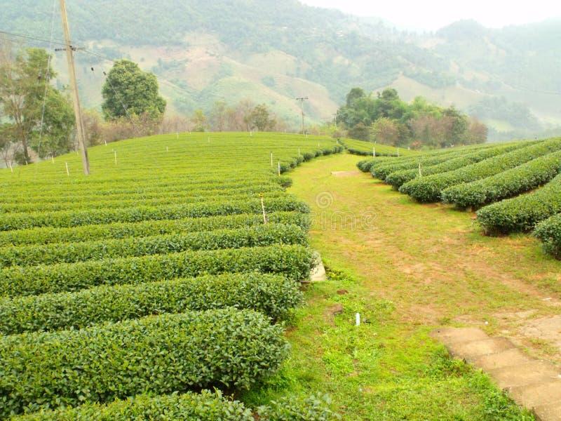Download Herbata ogrodowa zdjęcie stock. Obraz złożonej z średniogórze - 53777138