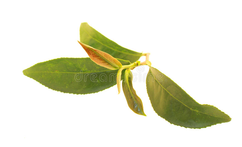 Herbata pączek obraz stock