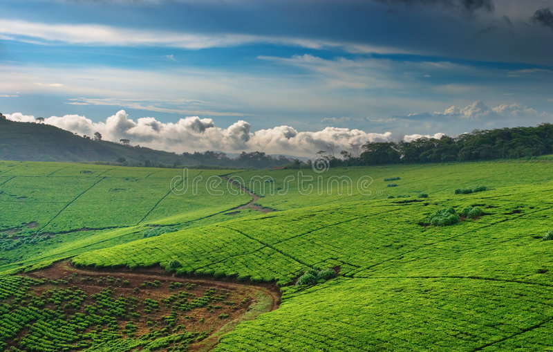 herbata plantację Uganda obraz royalty free