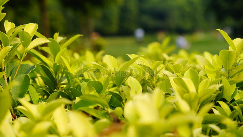 HERBATA PLANTAION obrazy stock
