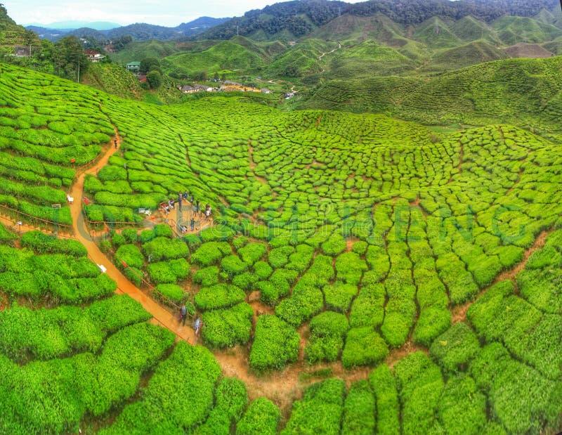 Herbaty Cameron rolny średniogórze Malezja fotografia stock