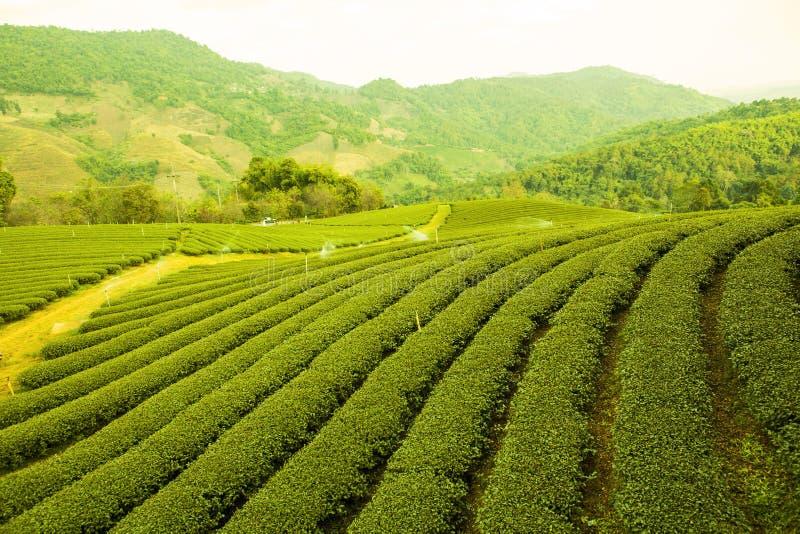 Herbaty gospodarstwo rolne zdjęcie royalty free