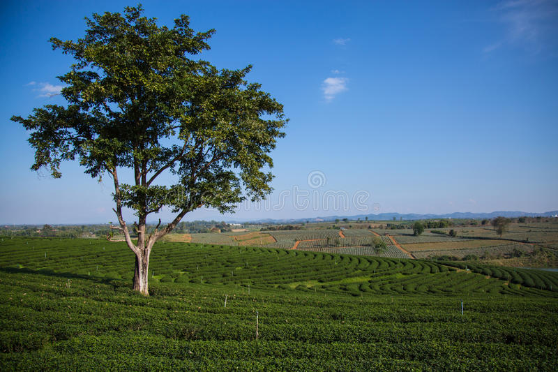 Herbaty gospodarstwo rolne zdjęcia royalty free