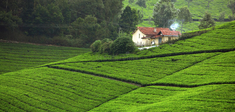 Herbaty pole fotografia royalty free