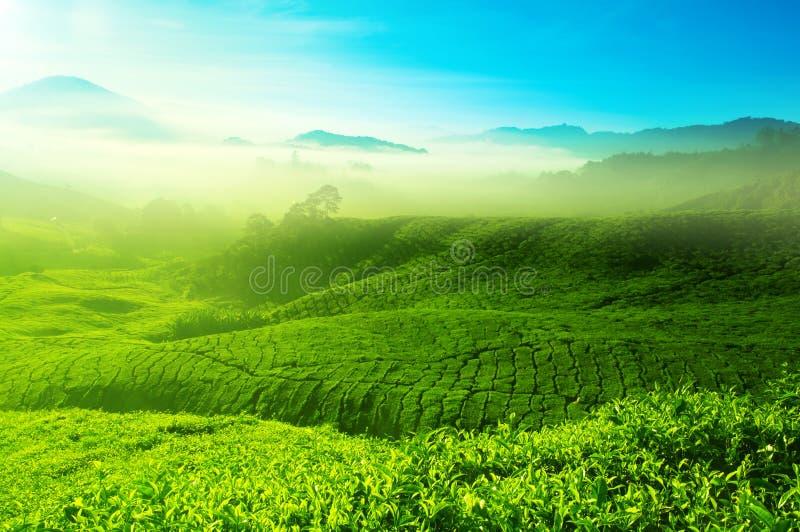 Herbaty pole zdjęcie stock