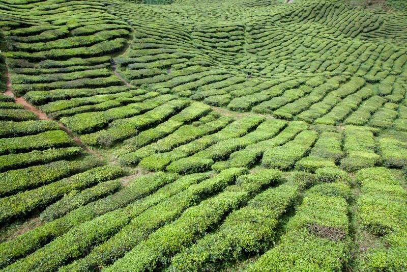 Herbaty pole zdjęcia royalty free