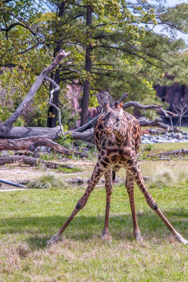 Herbe à jambes fendue de consommation de girafe et regarder l'appareil-photo image libre de droits