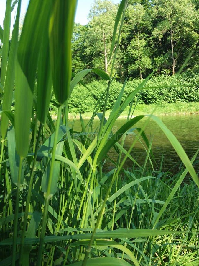Herbe à la rivière image libre de droits