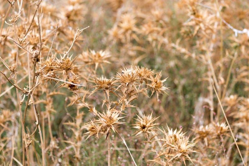 Herbe épineuse sèche dehors images libres de droits