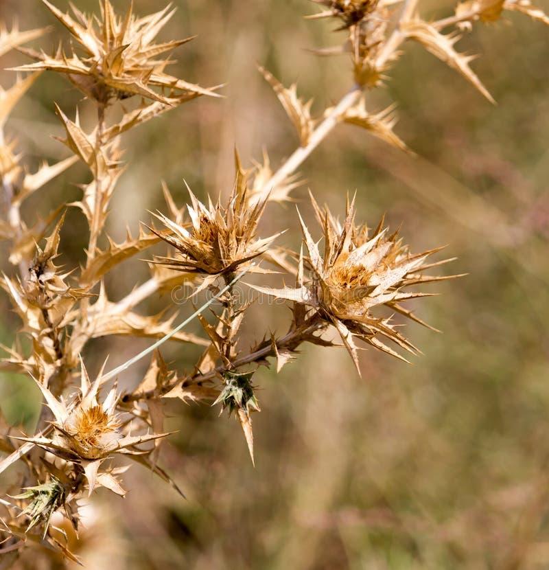 Herbe épineuse sèche dehors image libre de droits