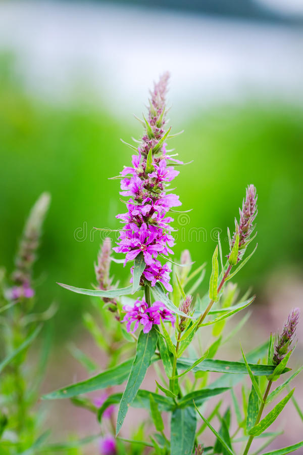 Herbe éternelle Conopsea de Gymnadenia photographie stock