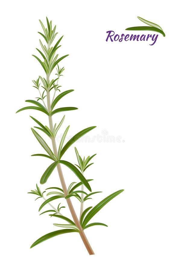 Herbe éternelle d'officinalis de Rosemary Rosmarinus avec les feuilles à feuilles persistantes parfumées Vecteur illustration stock
