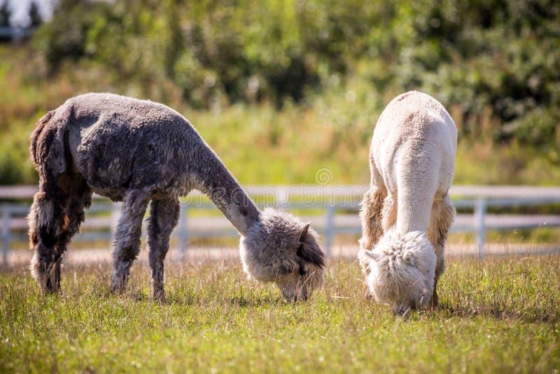 Herbe animale de consommation de lama photographie stock