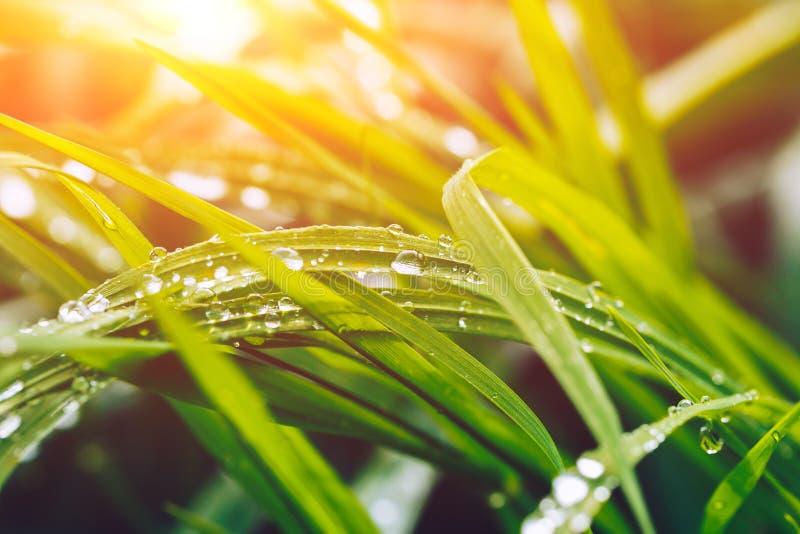 Herbe après la pluie avec une fusée de Sun photographie stock
