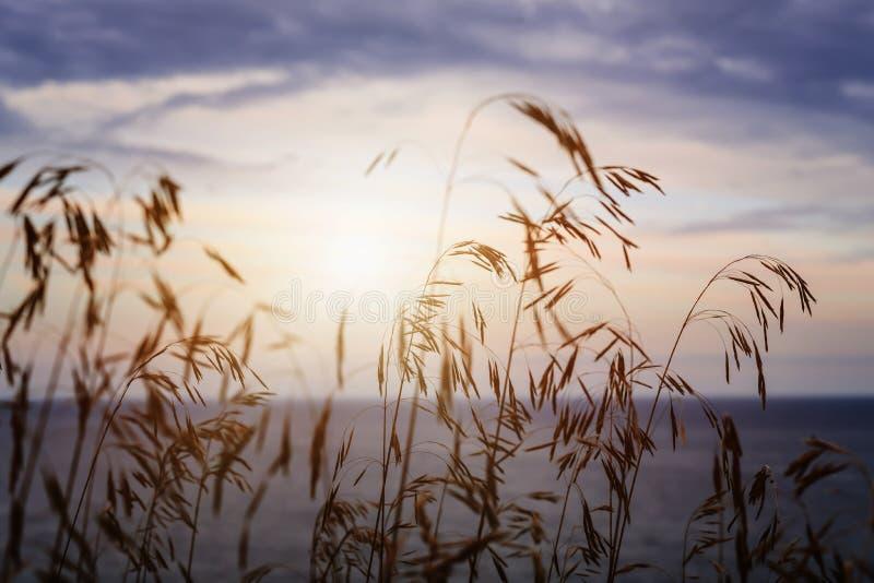 Herbe au coucher du soleil photographie stock libre de droits