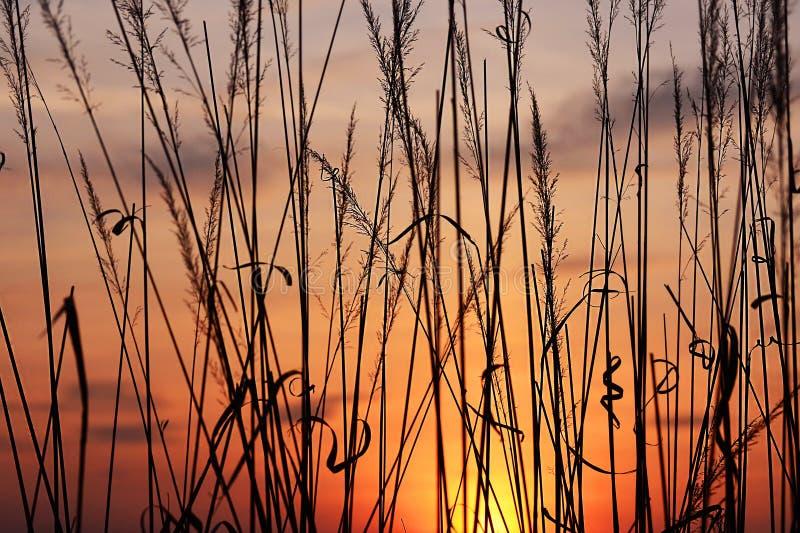 Herbe au coucher du soleil image libre de droits