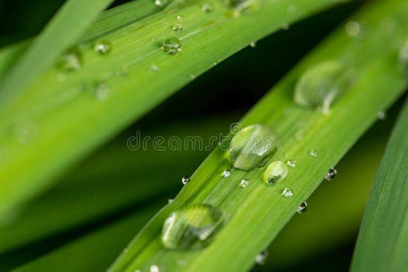 Herbe avec des gouttes de pluie Feuilles d'une usine avec des gouttes de pluie Nature apr?s la pluie Baisses clair comme de l'eau photos stock