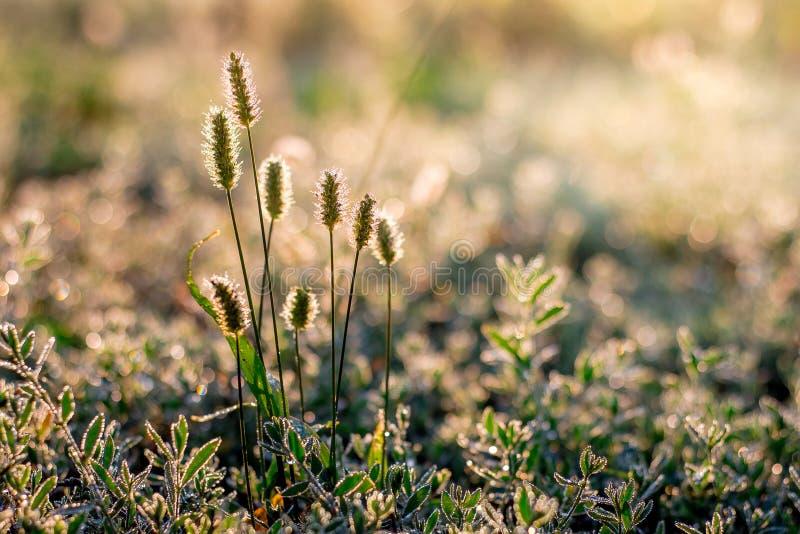 Herbe avec des transitoires dans les rayons du light_ de matin photo libre de droits