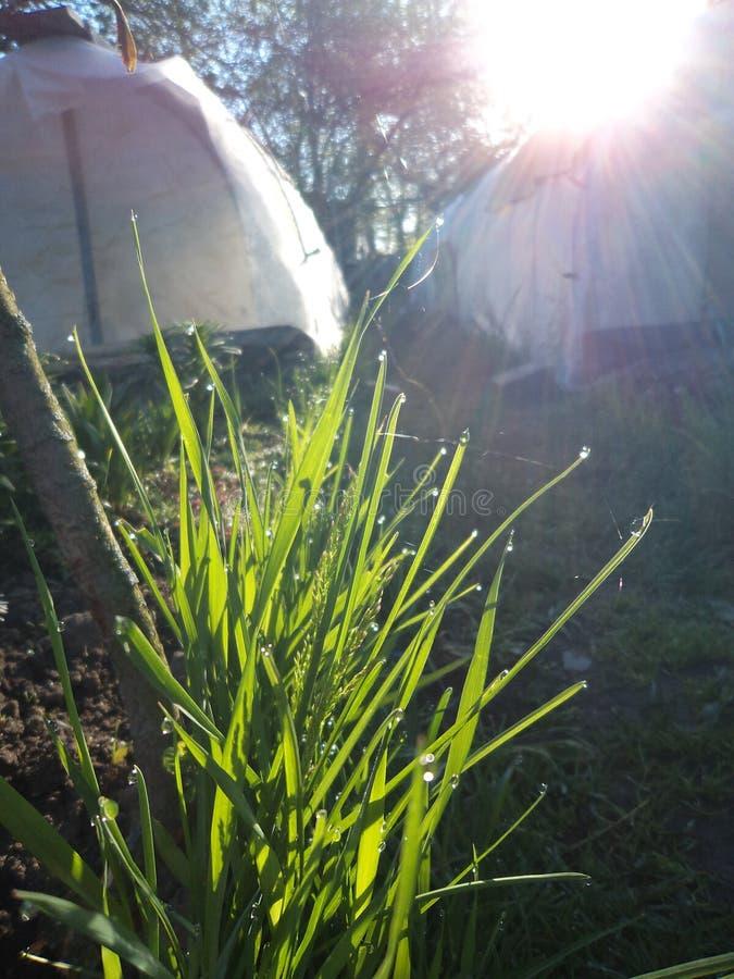 Herbe avec la rosée de matin dans le jardin Ressort photo libre de droits