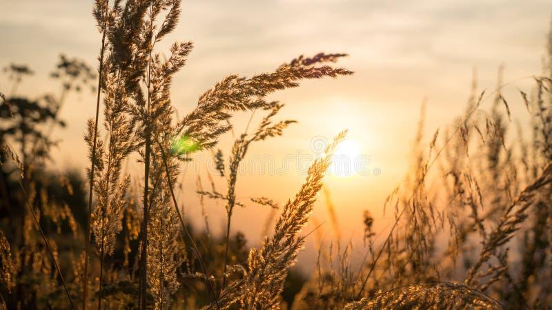 Herbe avec le fond de coucher du soleil photo stock