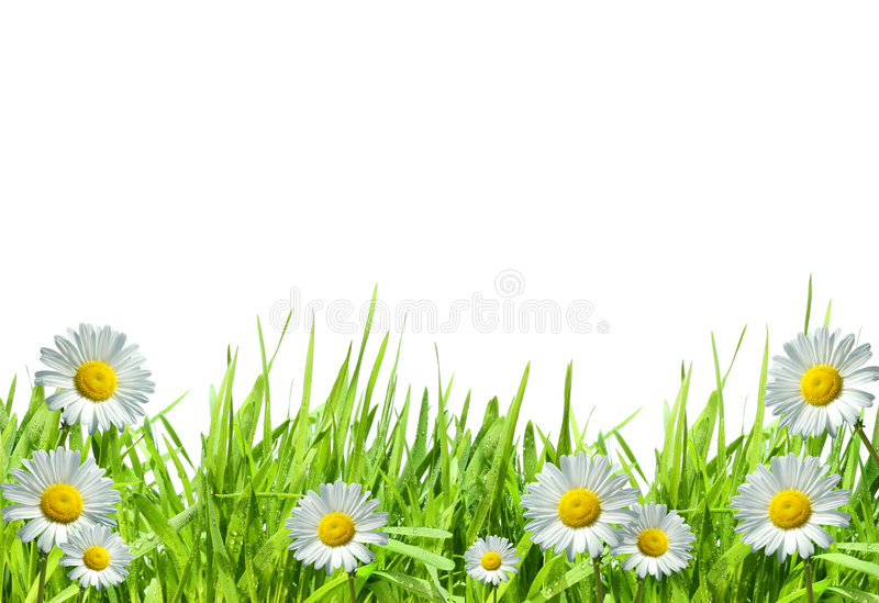 Herbe avec les marguerites blanches contre le blanc photo stock
