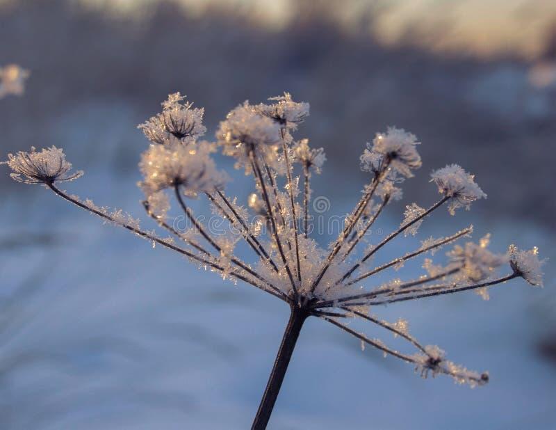 Herbe congelée dans les flocons de neige un après-midi d'hiver au coucher du soleil photo libre de droits