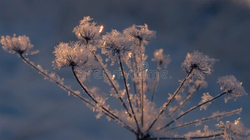 Herbe congelée dans les flocons de neige un après-midi d'hiver au coucher du soleil photographie stock