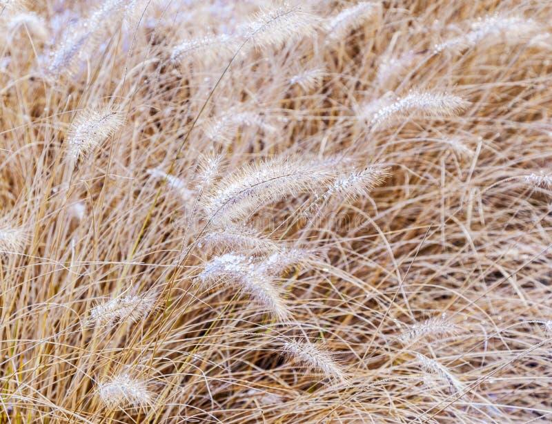 Herbe congelée de pampa dans l'hiver photo stock