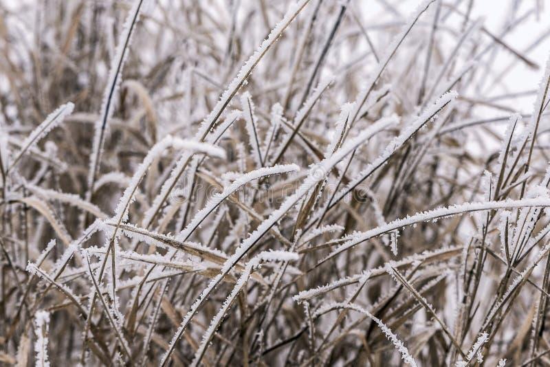 Herbe congelée sur un pré, couvert de cristaux de glace en hiver photos libres de droits