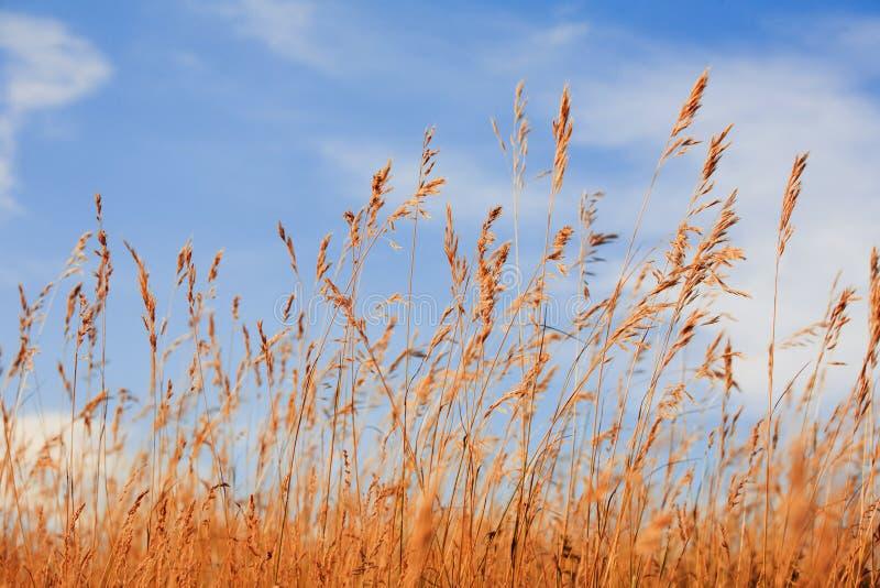 Herbe contre le ciel bleu image libre de droits