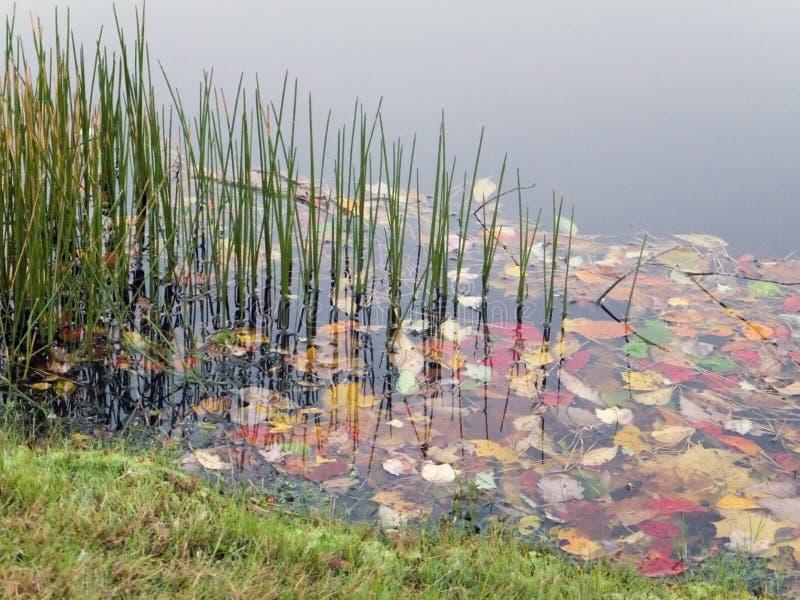 Herbe d'étang photo stock
