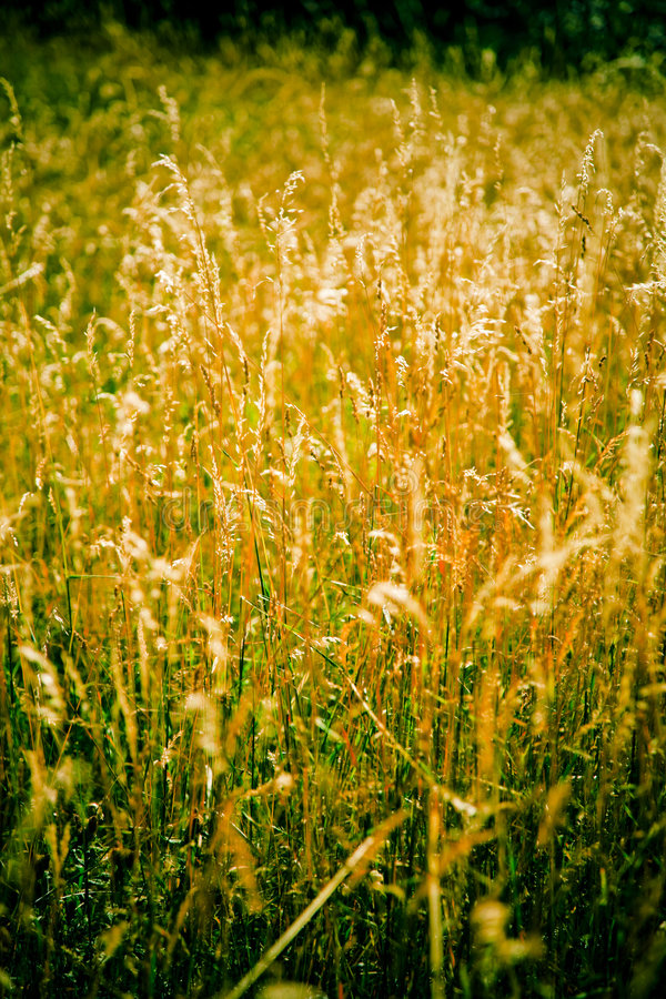 Herbe d'or photo stock