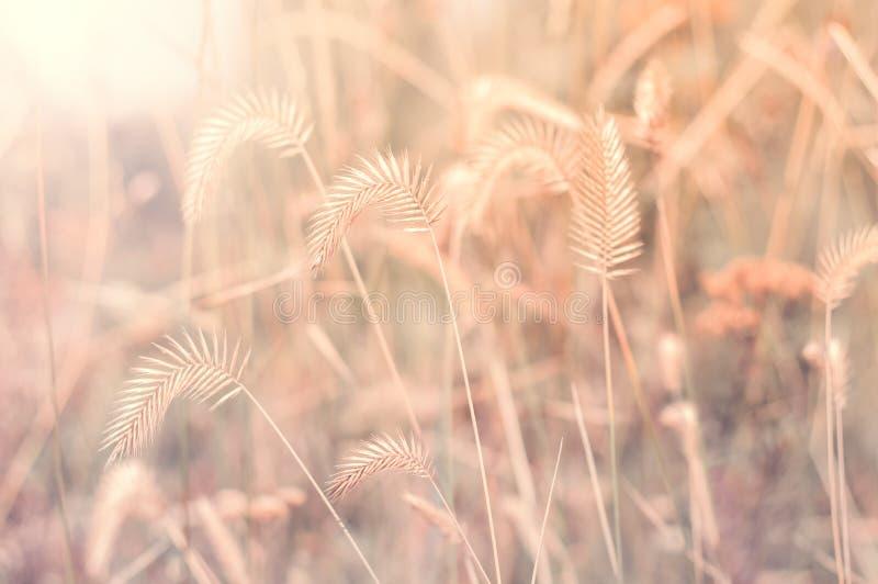 Herbe d'automne au soleil Paysage d'automne avec les herbes sèches images stock