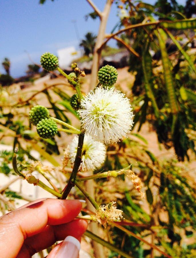 Herbe d'ipil d'Ipil à Lanzarote image stock