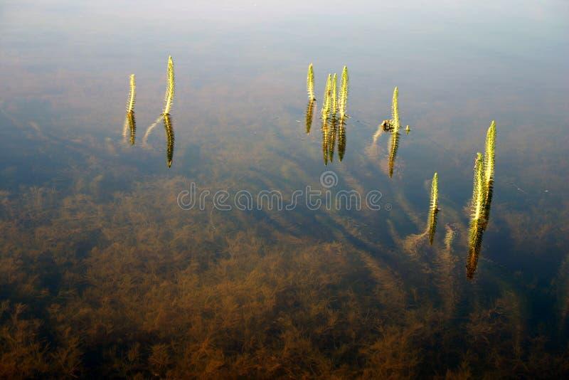 Herbe dans l'eau photographie stock libre de droits