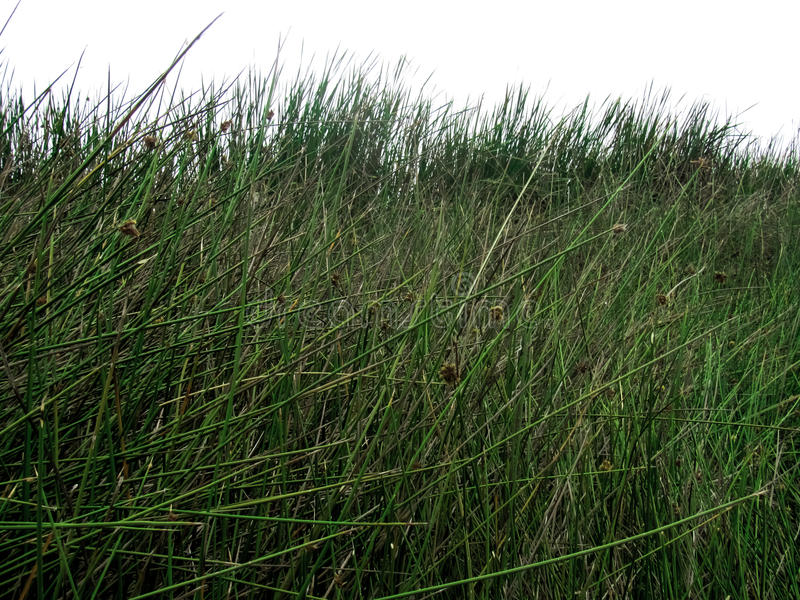 Herbe dans un marais photo stock