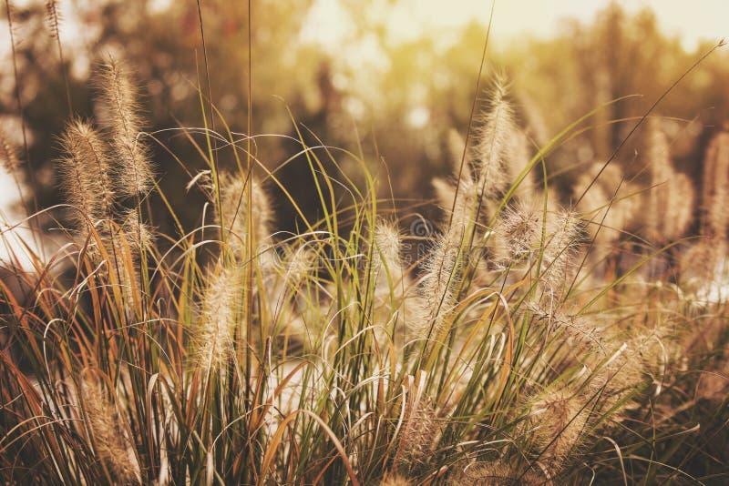 Herbe de blé d'été d'après-midi photo stock