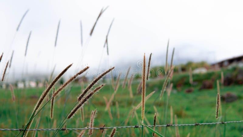 Herbe de Cogon avec le fond de la grande montagne photos libres de droits