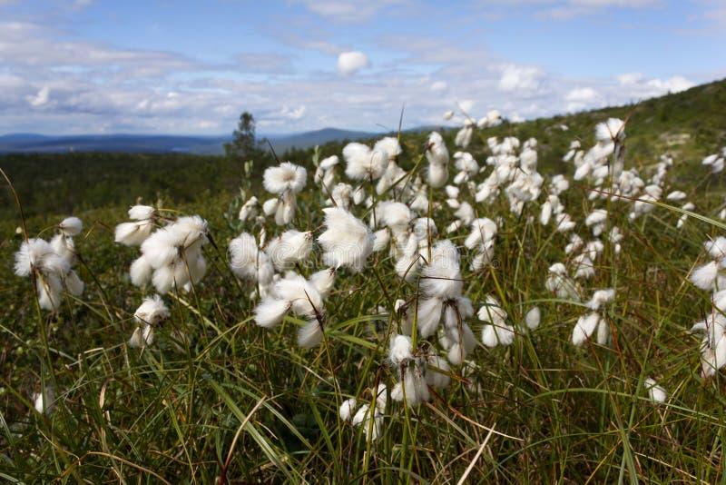 Herbe de coton photos libres de droits
