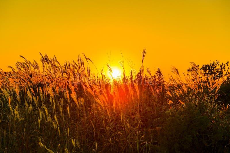 Herbe de coucher du soleil de contre-jour photo stock