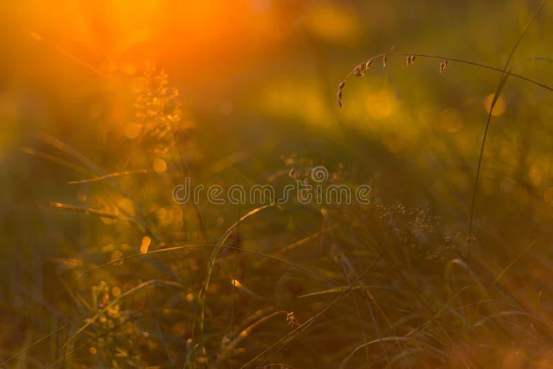 Herbe de coucher du soleil sous la lumière du soleil orange douce, macro photos libres de droits