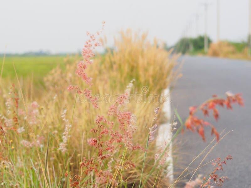 Herbe de fleur le long de la route pendant l'été Il semble lumineux et beau Avec des couleurs douces photographie stock libre de droits