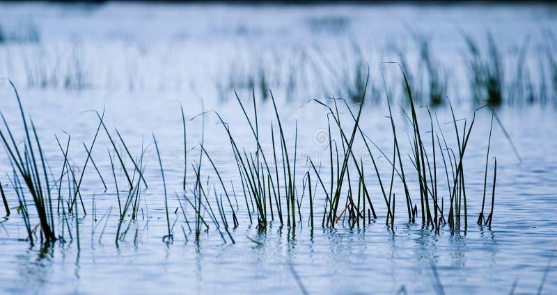 Herbe de fleuve photo libre de droits