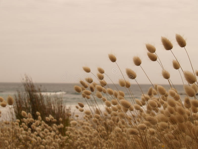 Herbe de Harestail à la plage photo libre de droits