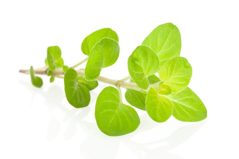 Herbe de marjolaine. photographie stock libre de droits