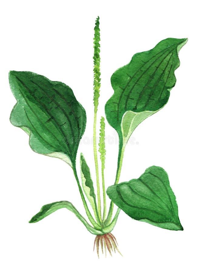 Herbe de plantain médicinale et plantes de nourriture illustration stock